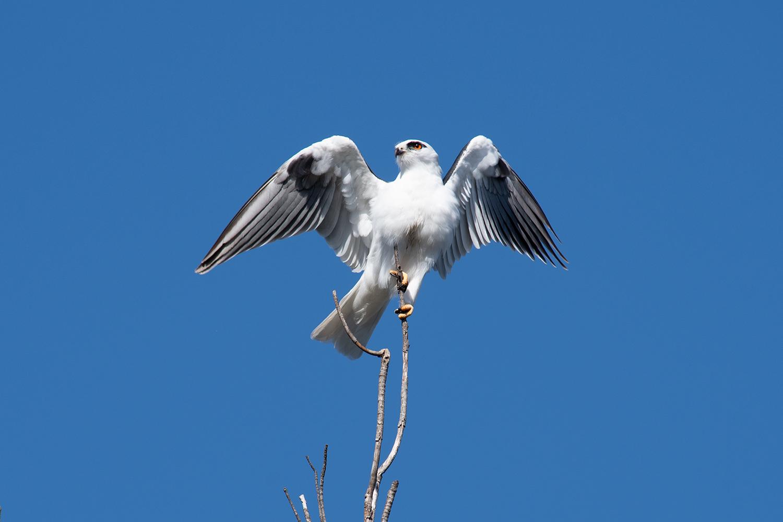 Black-shouldered kite balancing on its perch