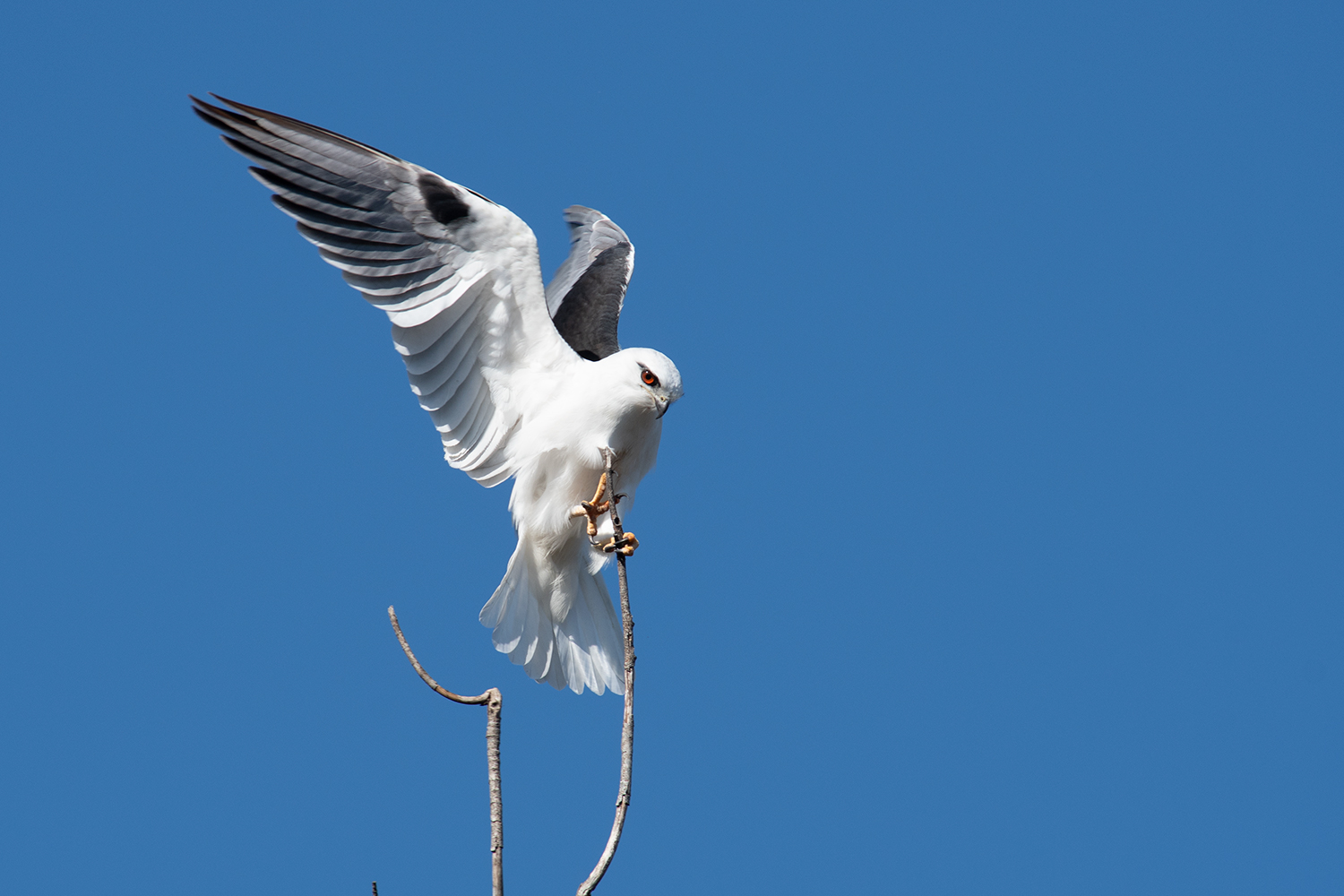 Black-shouldered kite balancing to stay on its perch