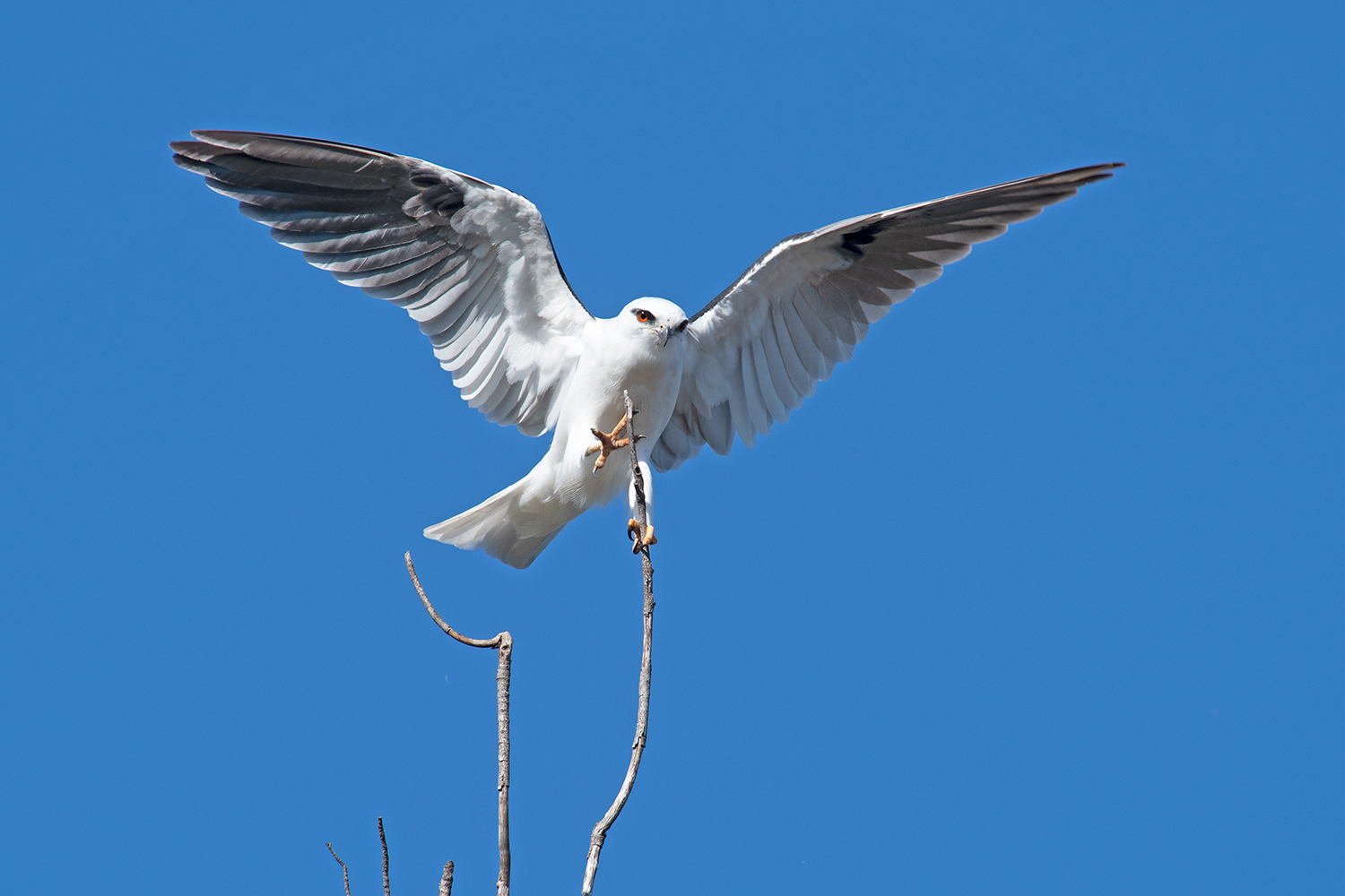 Black-shouldered kite landing on its favourite perch