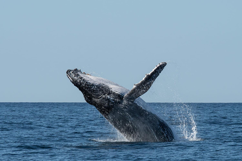 Humpback-breaching-off-Sydney-(2)
