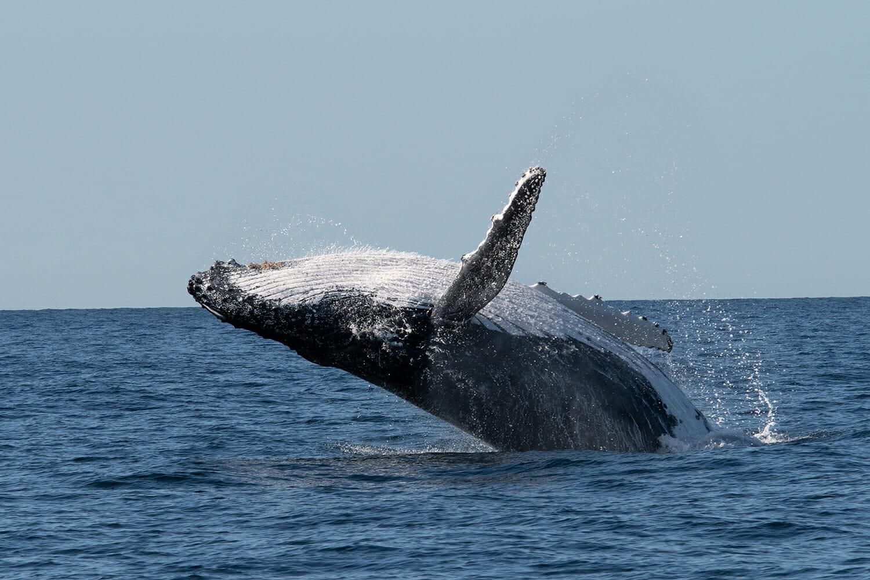 Humpback-breaching-off-Sydney-(3)
