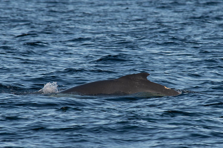 Newborn humpback whale