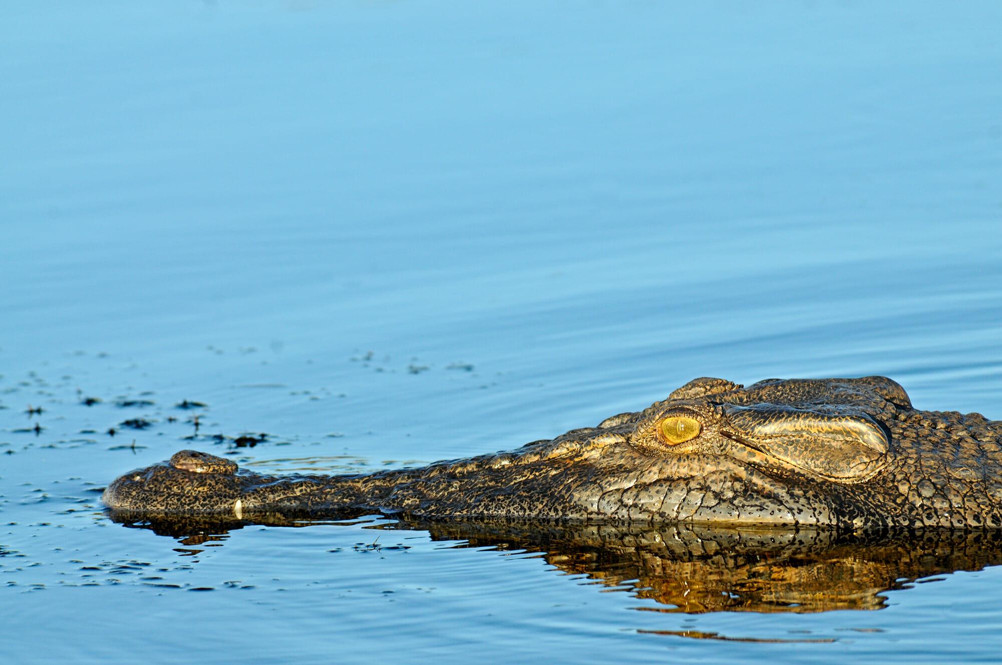 Saltwater-crocodile-in-Kakadu