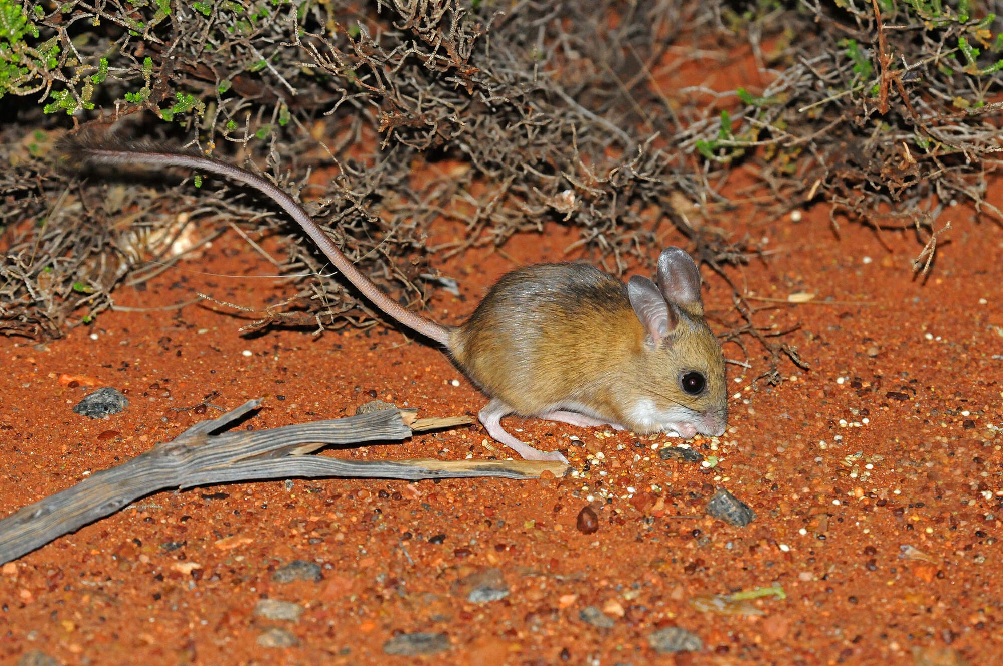 Spinifex-hopping-mouse