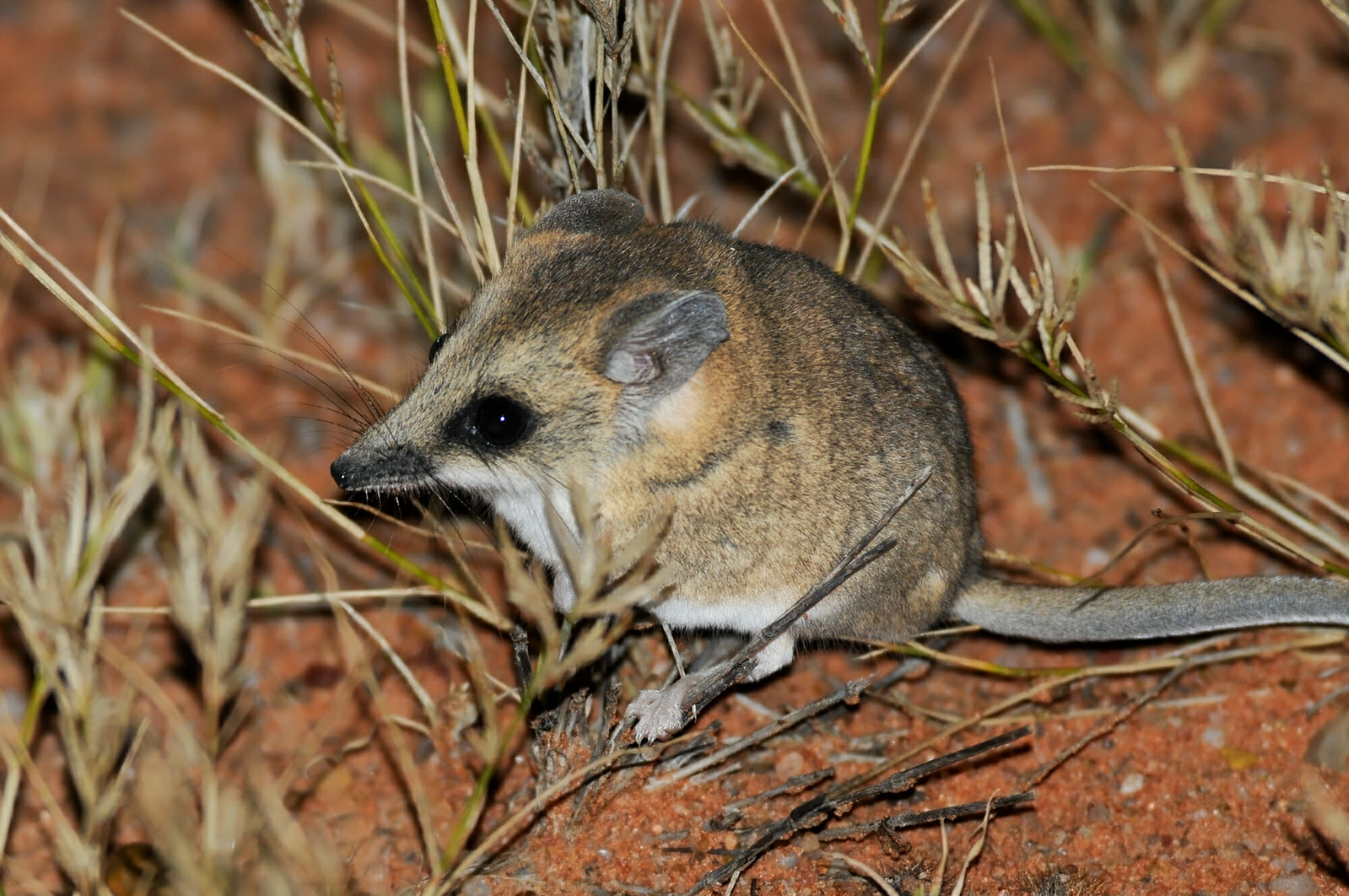 lesser-hairy-footed-dunnart