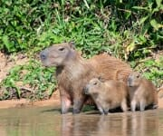 Capybara with young