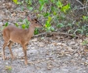 Red brocket deer