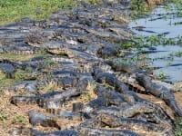 Sea of caiman