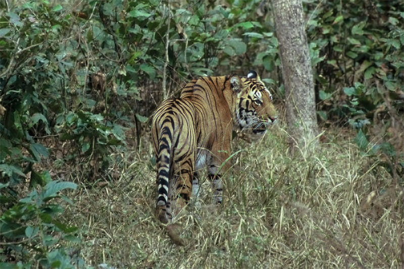 Tigers of Kanha - Angry male