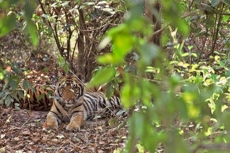 Tigers of Kanha - Female and cubs