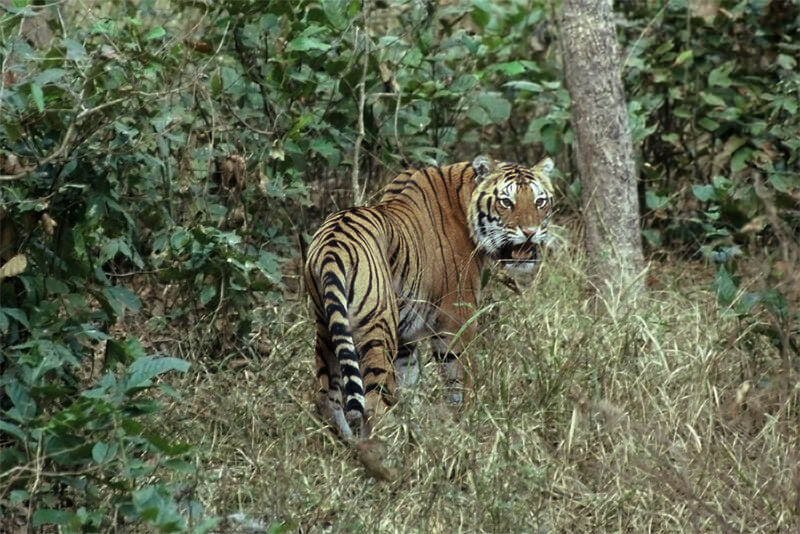 Tigers of Kanha - Angry male turning
