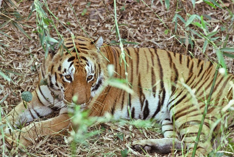 Tigers of Kanha - Young well-fed male