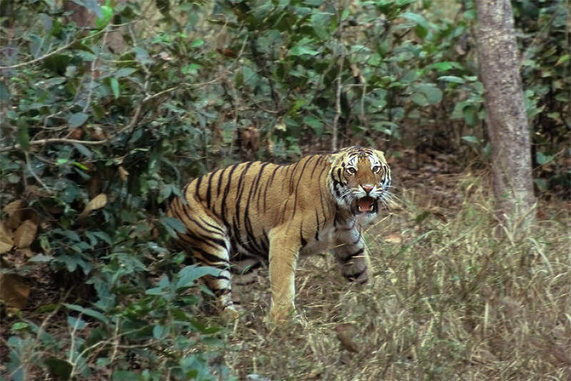 Tigers of Kanha - charging male