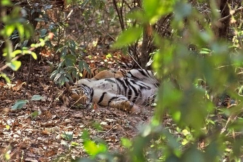 Tigers of Kanha - young cubs
