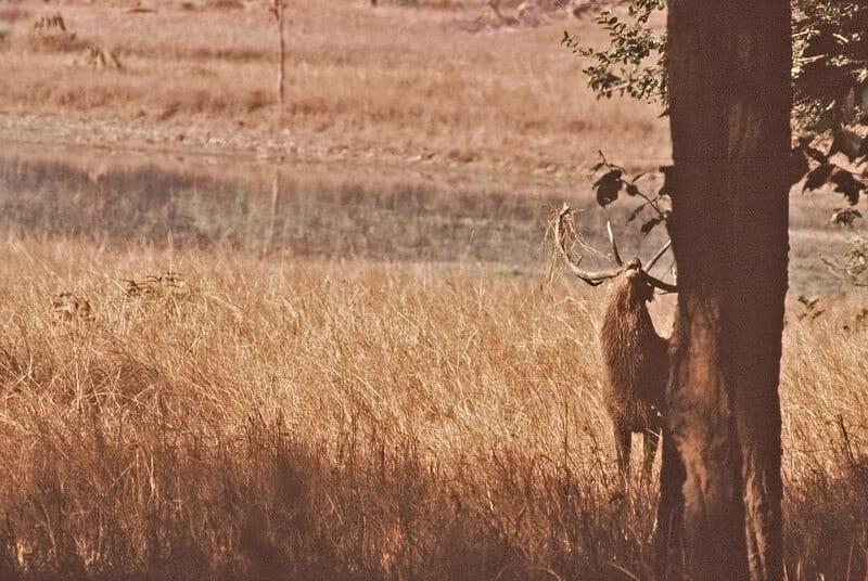 Barasinga stag in rut
