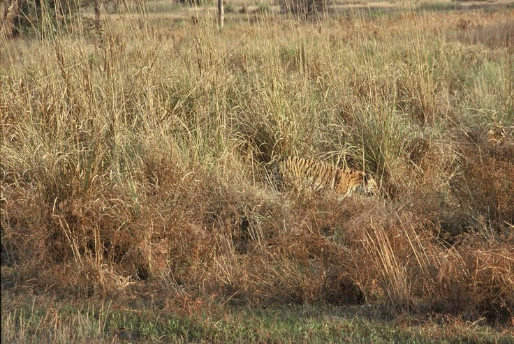 Tigers of Kanha - Perfectly camouflaged tigress on the meadow