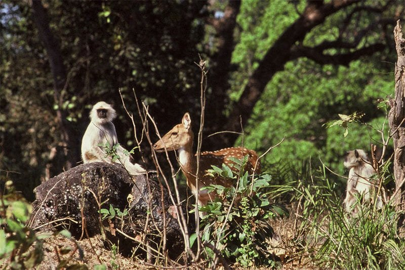 Chital and langurs in Kanha National Park