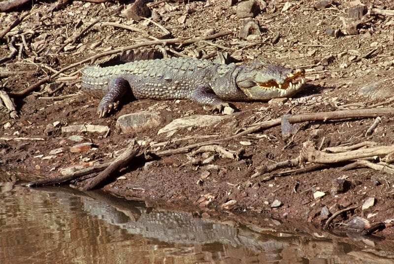 Wildlife of Ranthambhore - Marsh crocodile