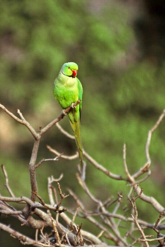 Wildlife of Ranthambhore - Rose-ringed Parakeet