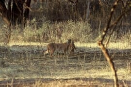 Wildlife watching in Ranthambore National Park - Caracal family