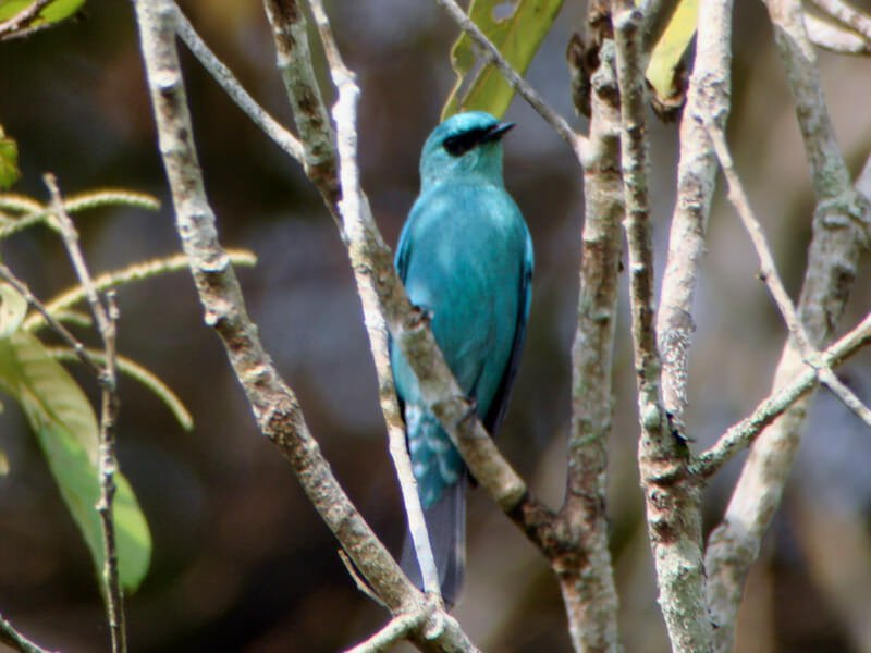 Veriditer flycatcher