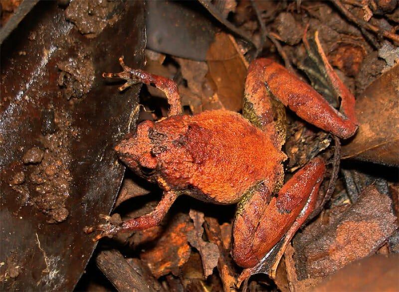 Berdmore's frog
