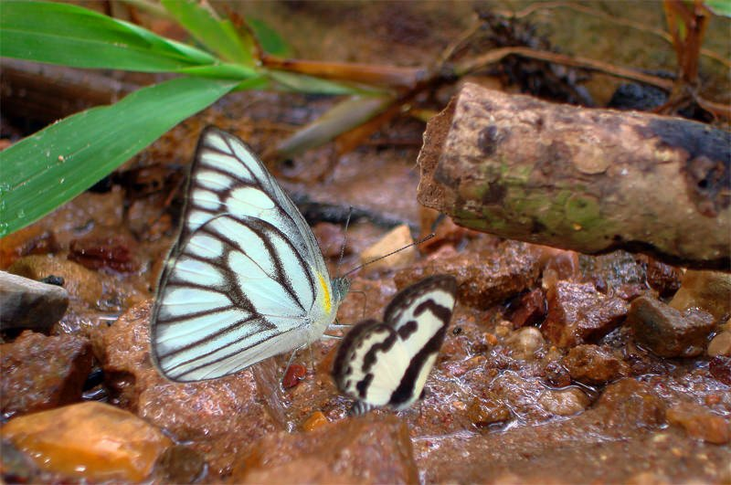 Streaked magpie moth in Khao Yai National Park