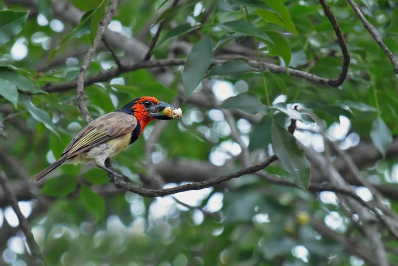 Wildlife watching in Kruger National Park - Black-collared barbet