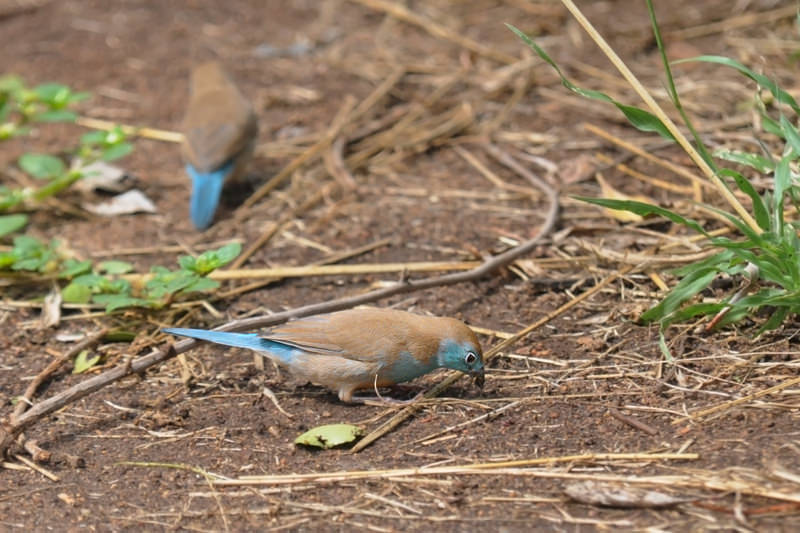 Wildlife watching in Kruger National Park - Blue waxbill