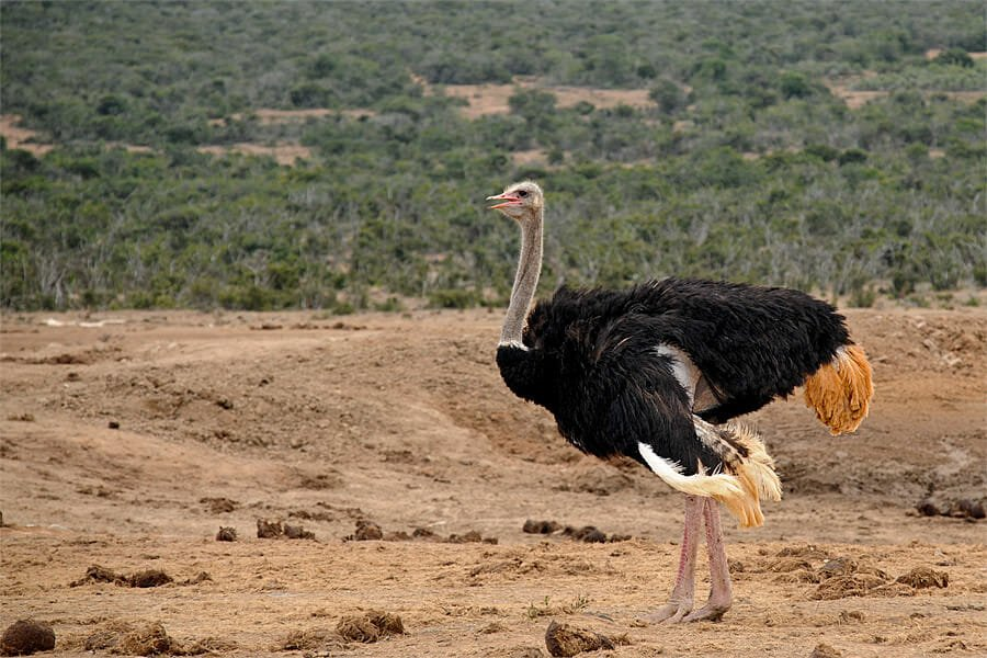 Male ostrich at Addo Elephant Park