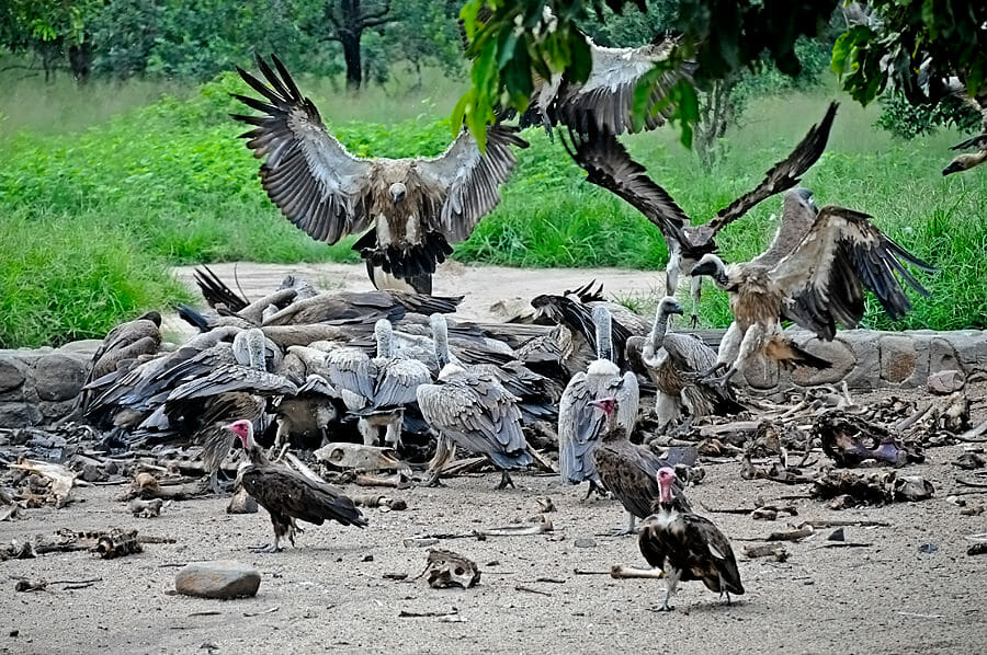 vulture feeding at HECS