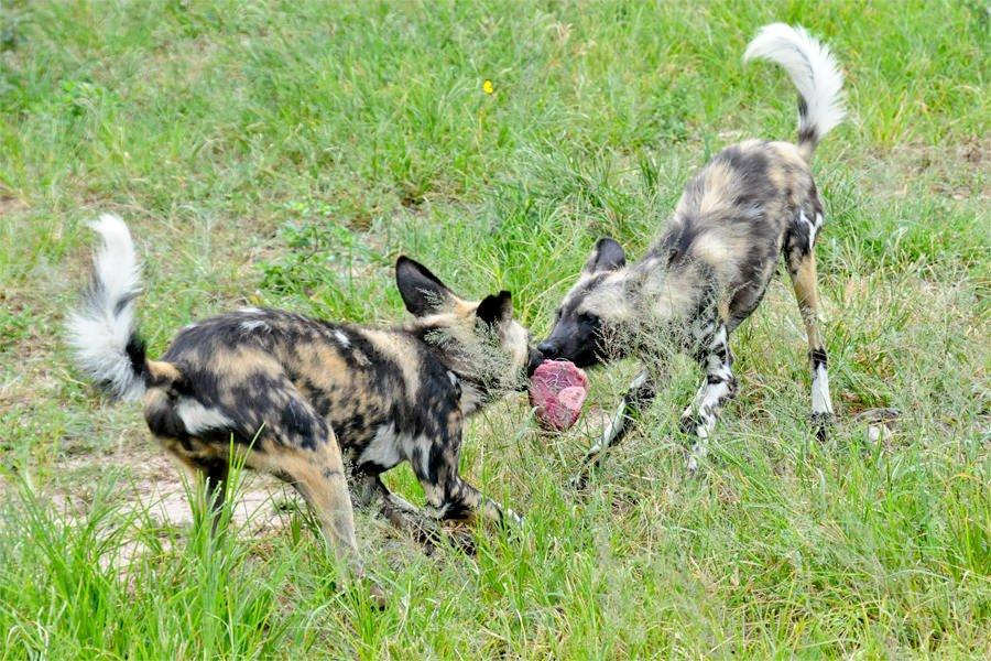 Wild dogs at HESC