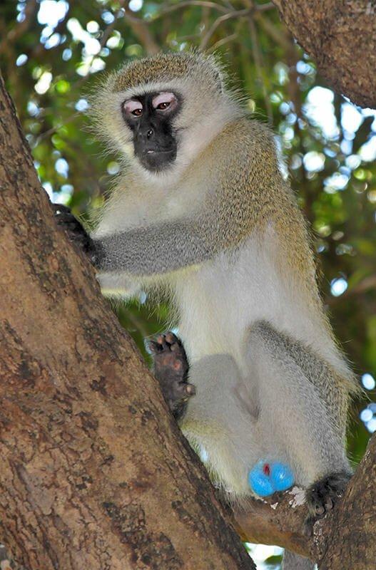 Vervet monkey in Kruger National Park
