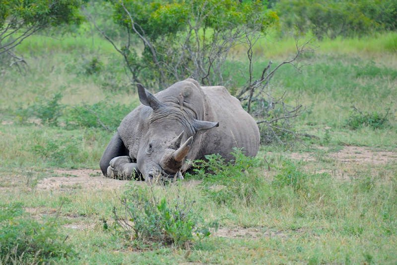 Wildlife watching in Kruger National Park - Black rhino