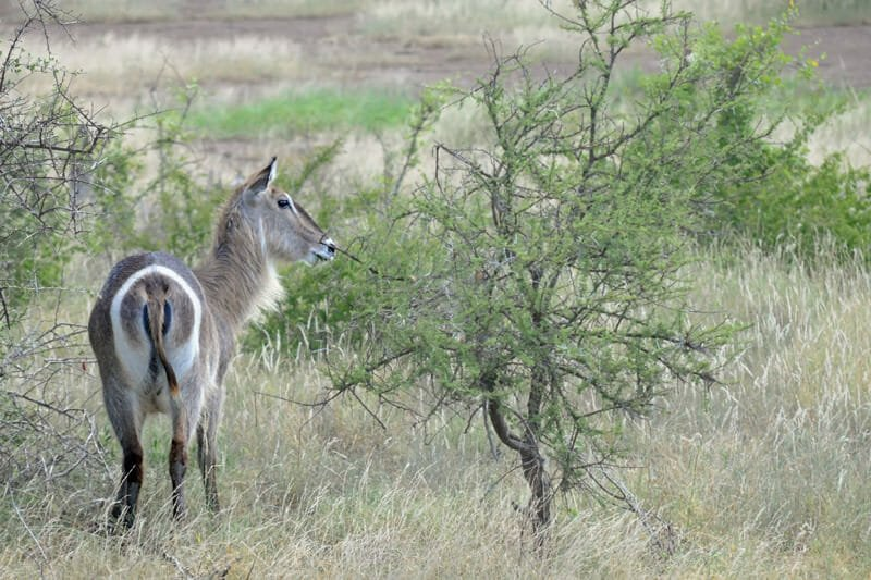 Wildlife watching in Kruger National Park - Waterbuck