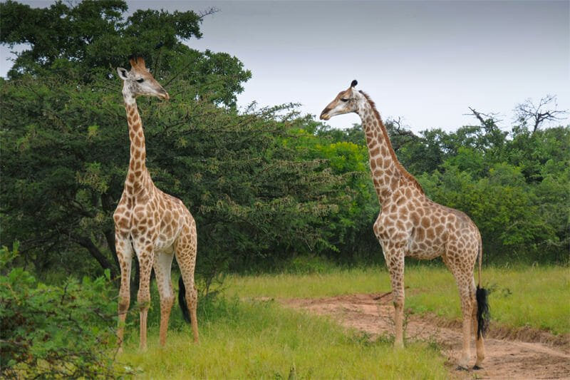 Wildlife watching in Kruger National Park - Giraffes