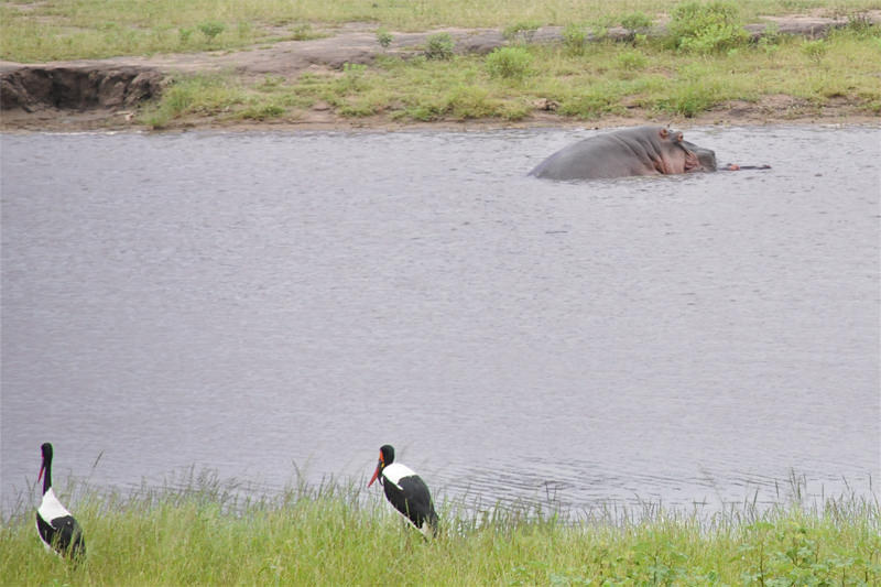 Saddle-billed storks and mating Hippos