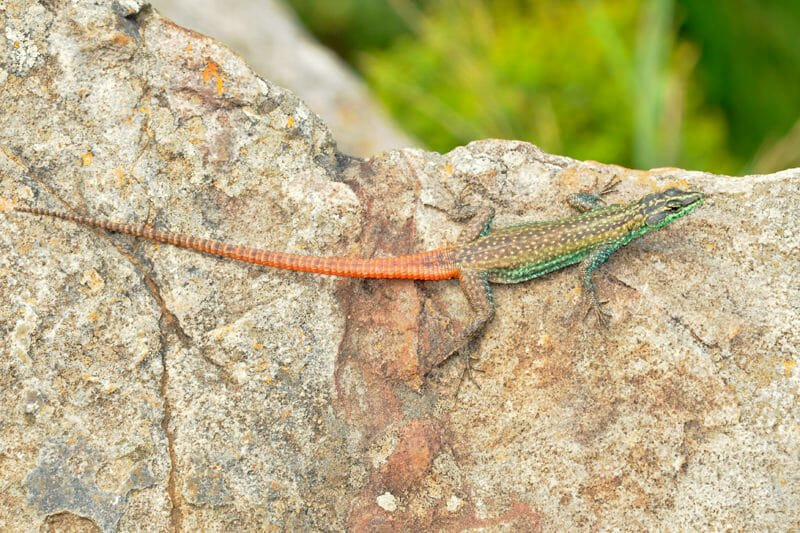 Spotted Rock Lizard