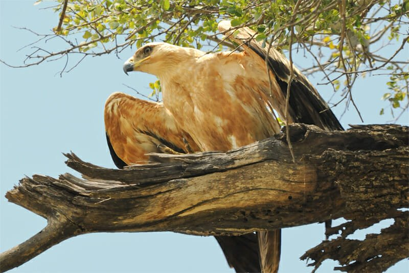 Wildlife watching in Kruger National Park - Tawny eagle
