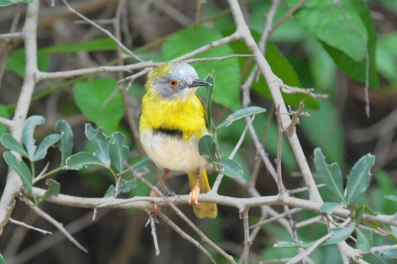 Wildlife watching in Kruger National Park - Yellow-breasted apalis