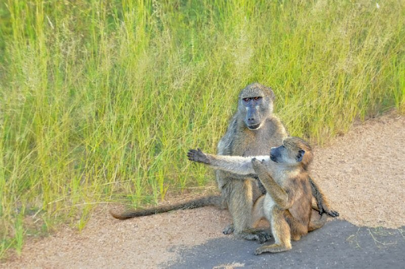 Wildlife watching in Kruger National Park - Chacma baboons