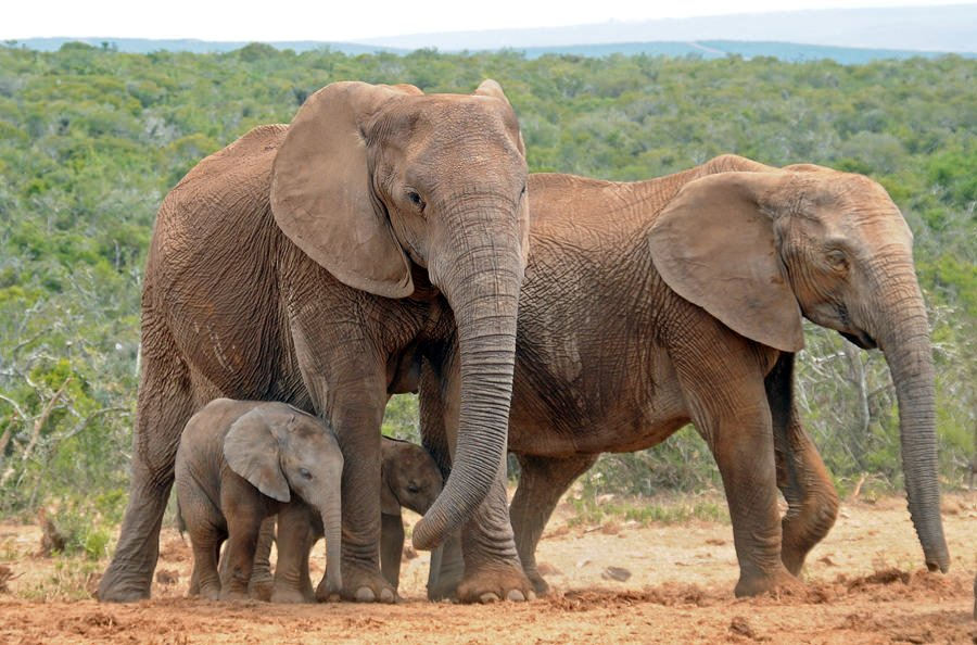 Females with calves at Addo Elephant Park