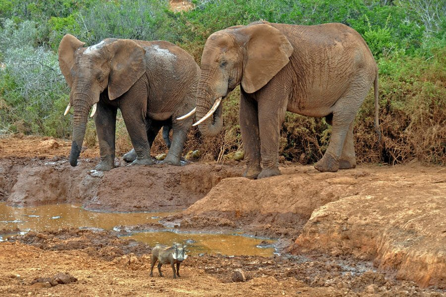 Elephants and a warthog at Addo Elephant Park