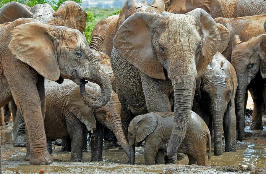 Addo Elephant National Park self-drive safari - African elephants