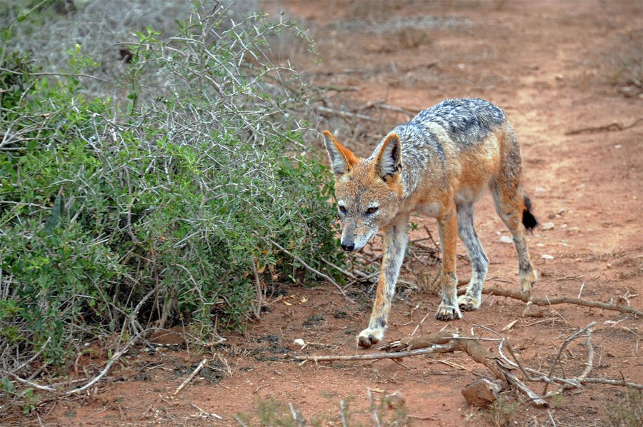 Black-backed jackal at Addo Elephant Park