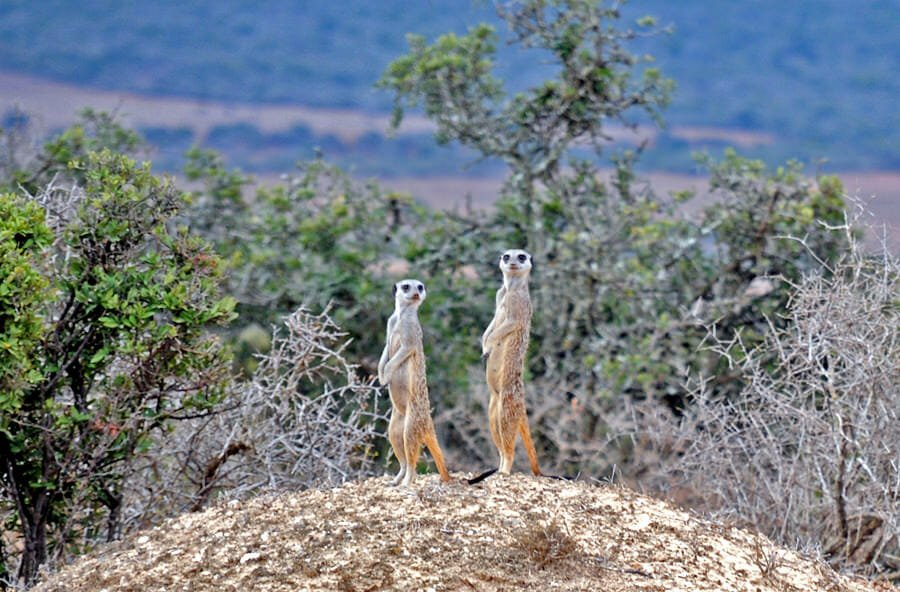 Meerkats at Addo Elephant Park