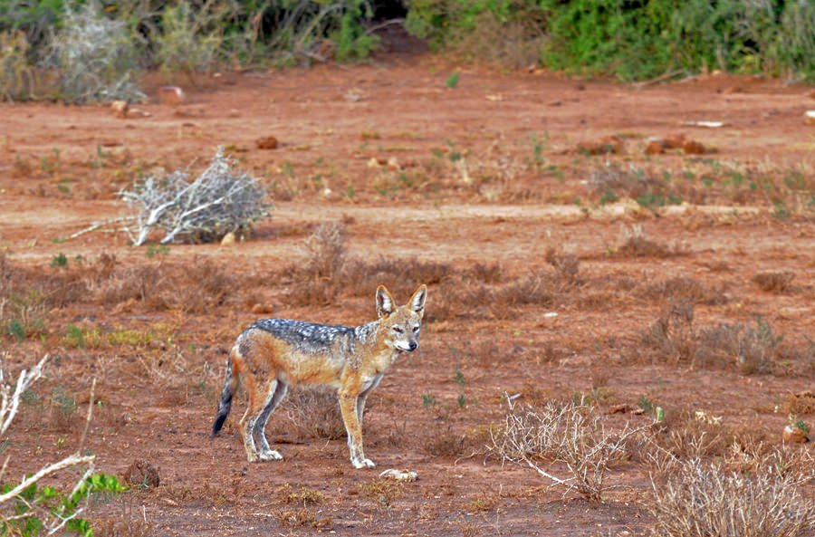 Mother jackal at Addo Elephant Park