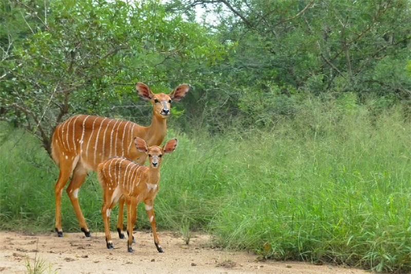 Wildlife watching in Kruger National Park - Nyala with a young