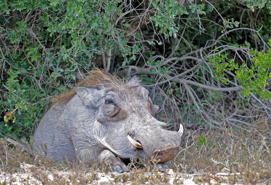 Addo Elephant National Park self-drive safari - Warthog