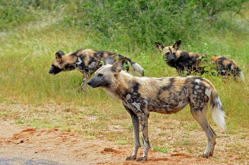 Wildlife watching in Kruger National Park - Wild dogs